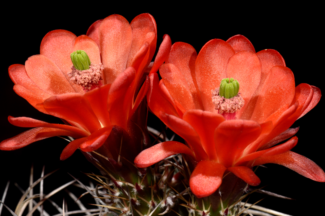 Echinocereus triglochidiatus, USA, New Mexico, Taos