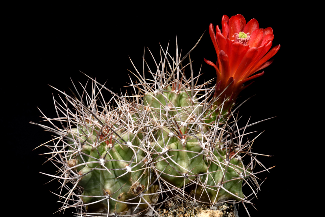 Echinocereus triglochidiatus, USA, Colorado, Salida
