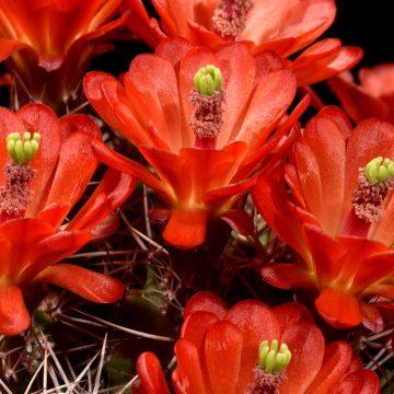 Echinocereus triglochidiatus, USA