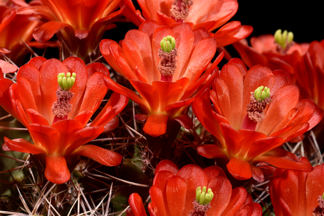 Echinocereus triglochidiatus, USA
