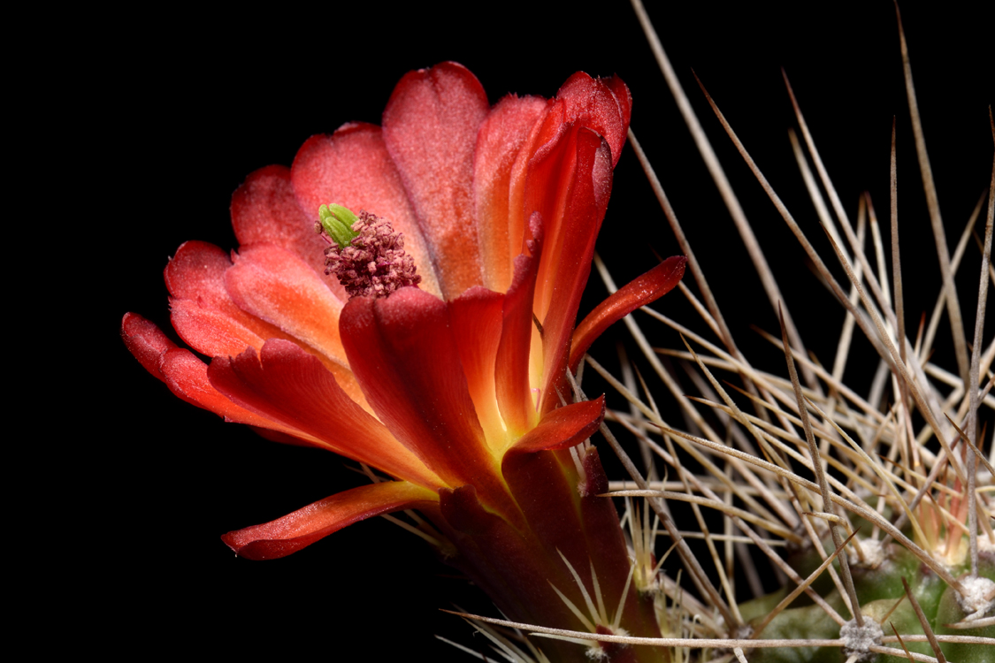 Echinocereus mojavensis, USA, Arizona, Flagstaff - Page