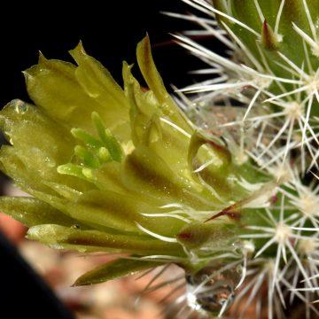 Echinocereus viridiflorus, USA, New Mexico, Santa Fe Co., SB0170