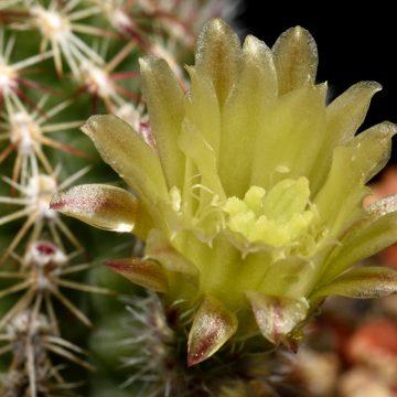 Echinocereus viridiflorus, USA, New Mexico, Bernalillo Co.