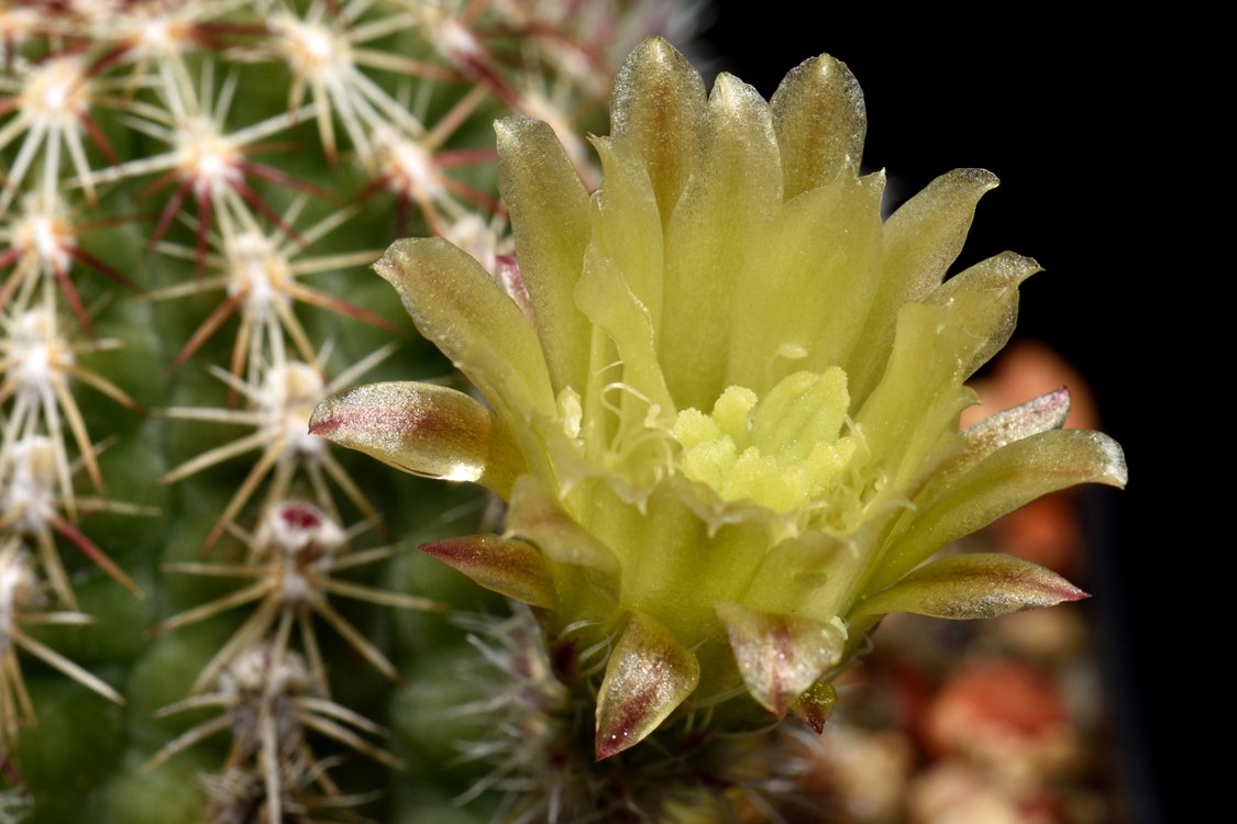 Echinocereus viridiflorus, USA, New Mexico, Bernalillo Co.