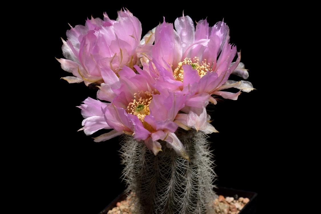 Echinocereus reichenbachii subsp. baileyi fa. albispinus, USA, Oklahoma, Murray Co.
