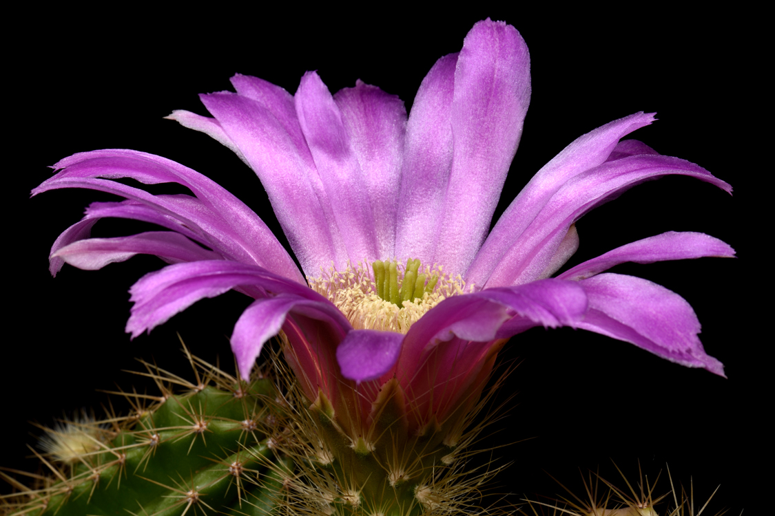 Echinocereus viereckii, Mexico, Tamaulipas