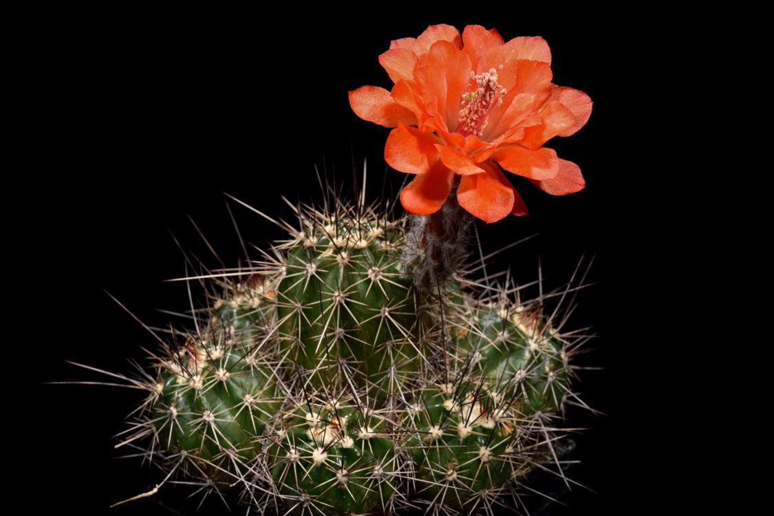 Echinocereus topiensis, Mexico, El Durazno