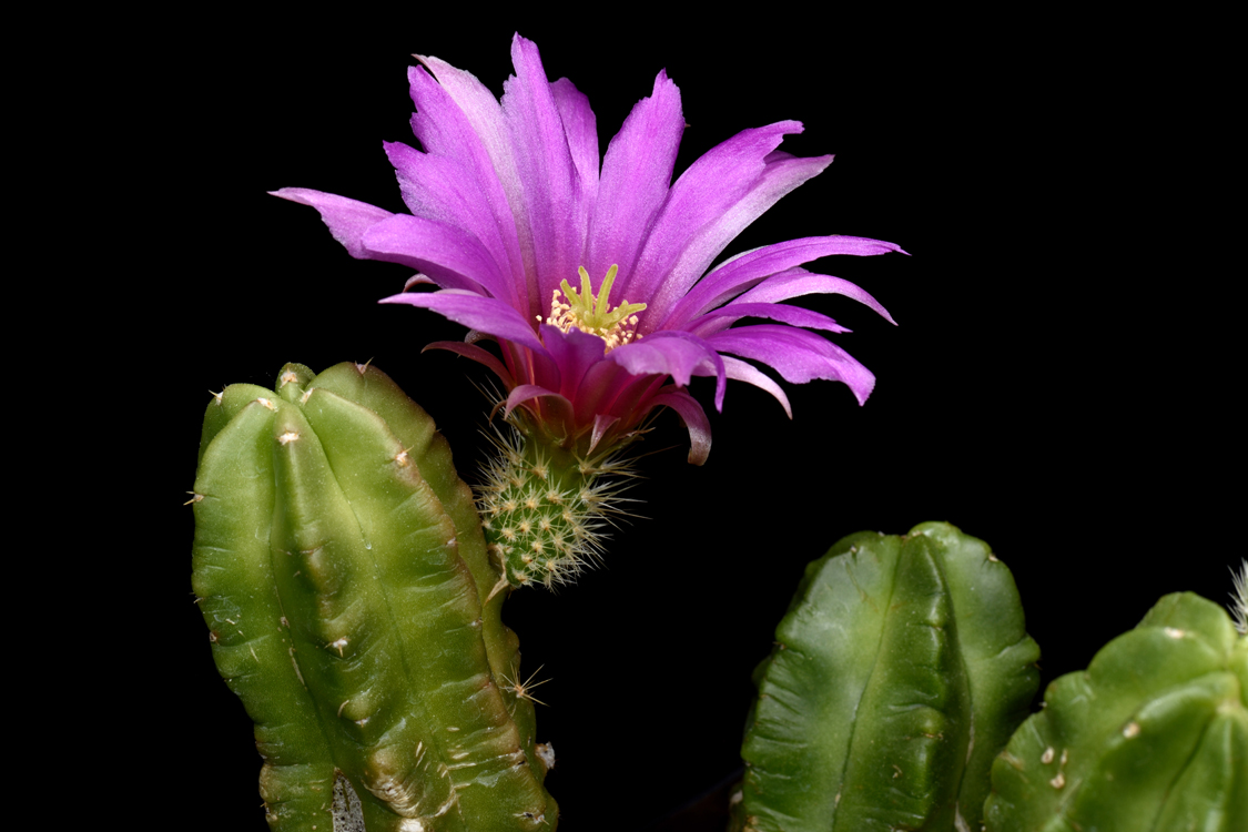 Echinocereus viereckii subsp. morricalii, Mexico, Nuevo Leon