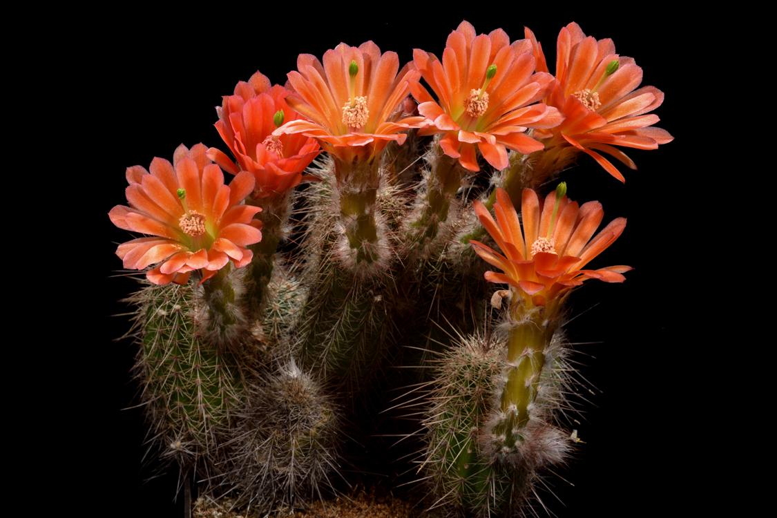 Echinocereus huitcholensis, Mexico, Durango, Durango - Mazatlan, Km 207
