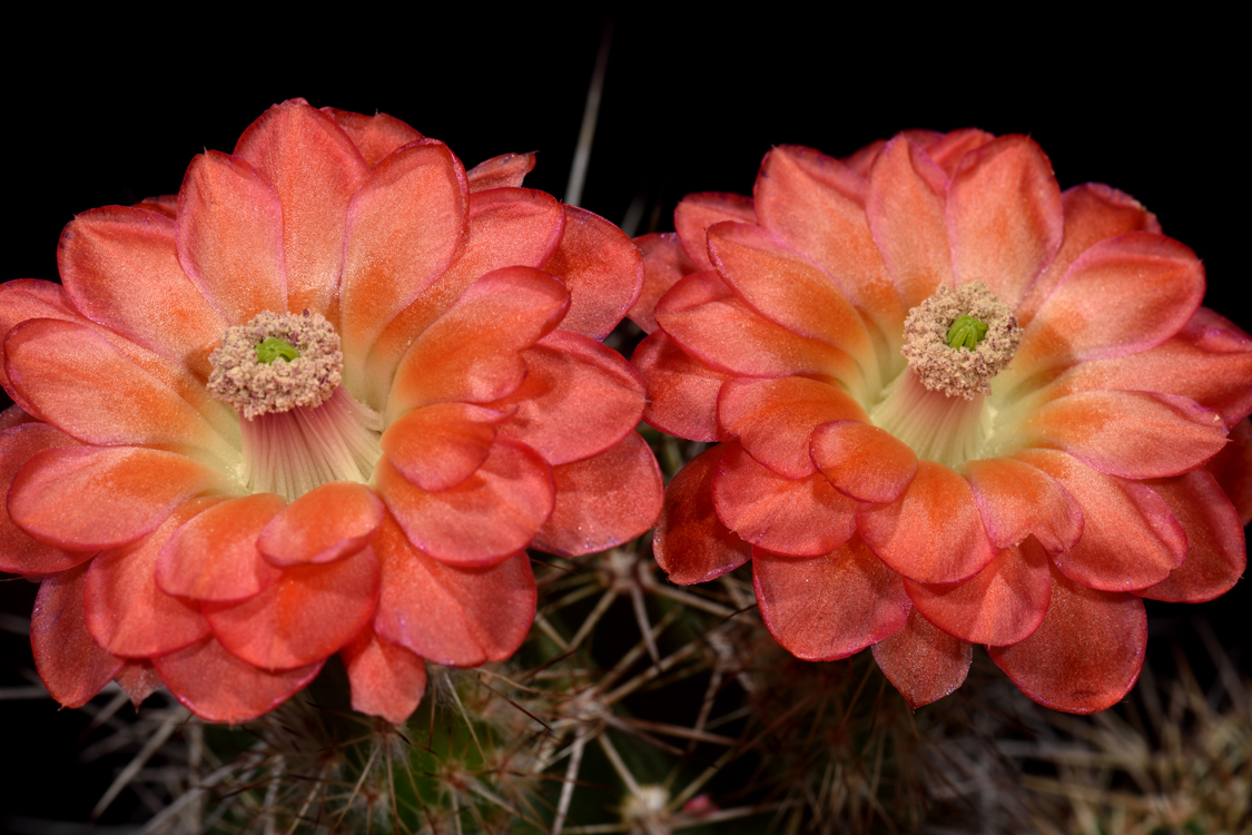 Echinocereus polyacanthus, Mexico, Durango, Tepehuanes - Guanacevi