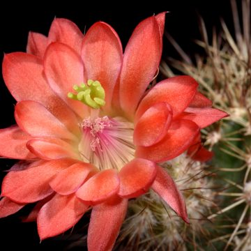 Echinocereus polyacanthus, Mexico, Chihuahua, Cienequita