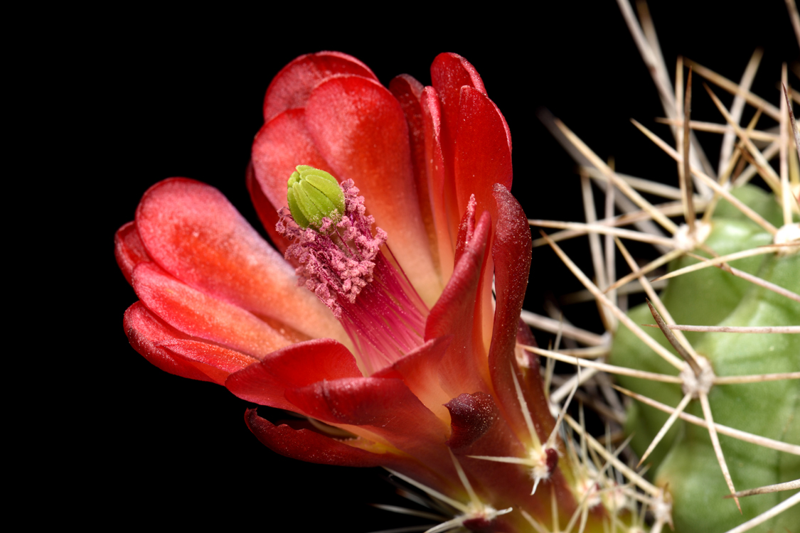 Echinocereus mojavensis, USA, Arizona, Pipe Springs