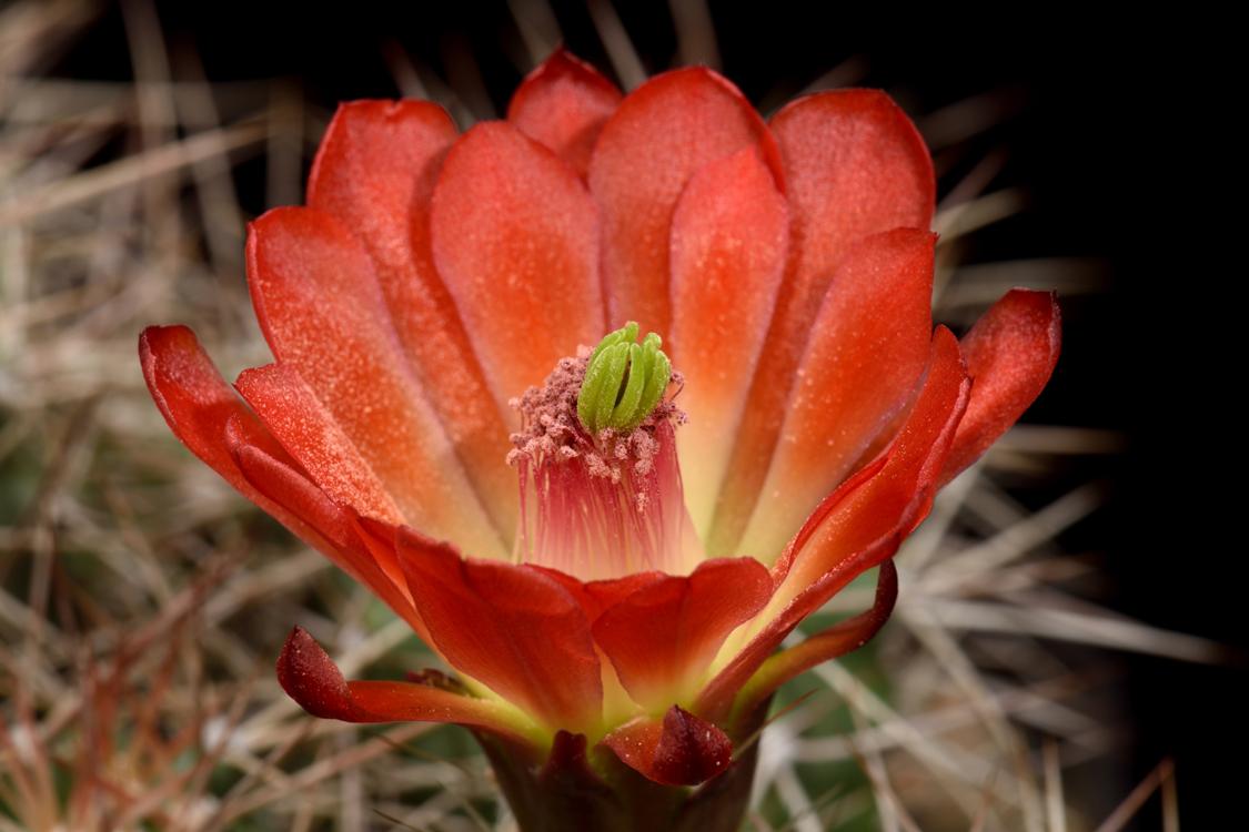 Echinocereus mojavensis, USA, Arizona, Kayenta