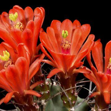 Echinocereus triglochidiatus fa. gonacanthus, USA, New Mexico, Grants