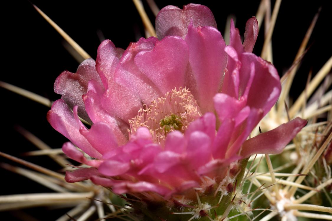 Echinocereus coccineus, USA, Hybride