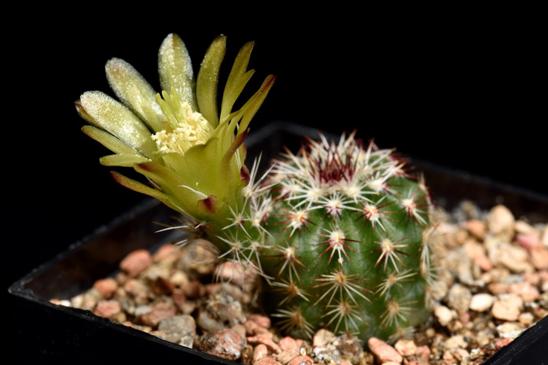 Echinocereus viridiflorus, USA, Colorado, Chaffee Co.