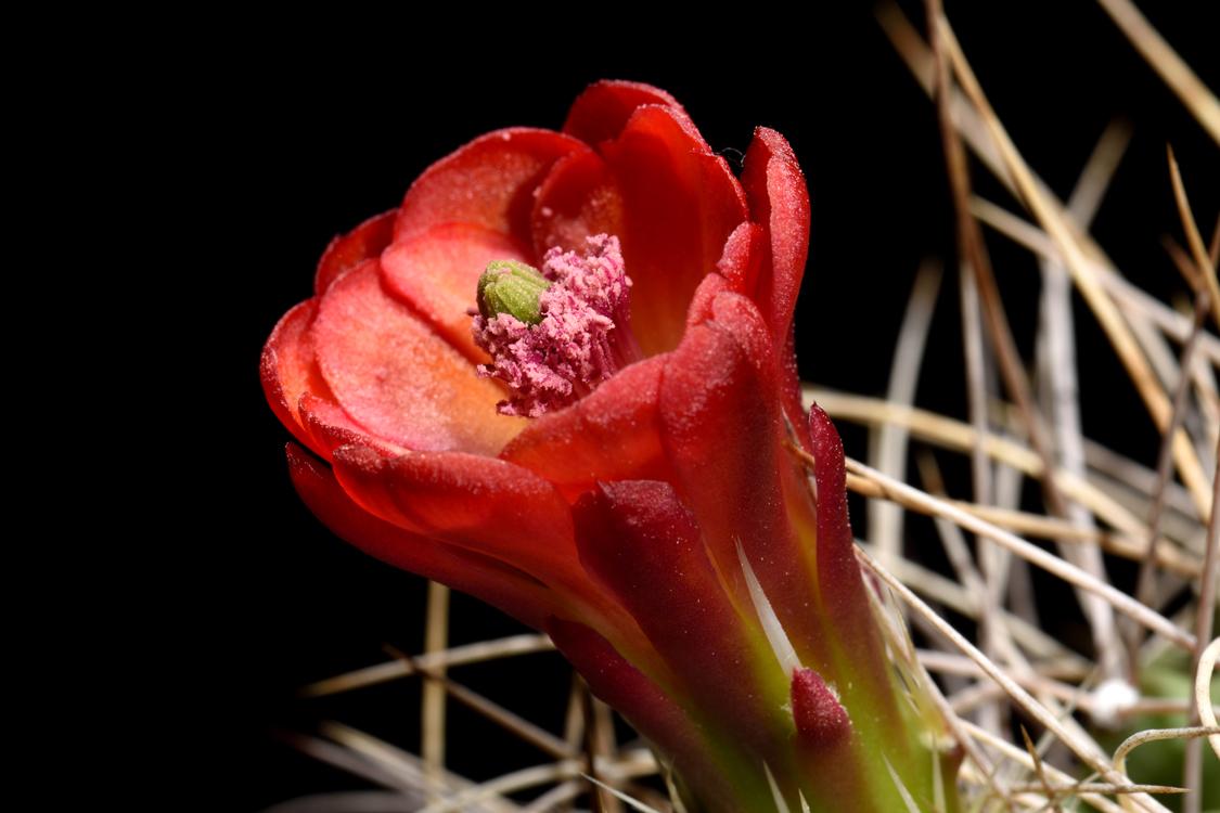 Echinocereus mojavensis, USA, California, Big Bear Lake