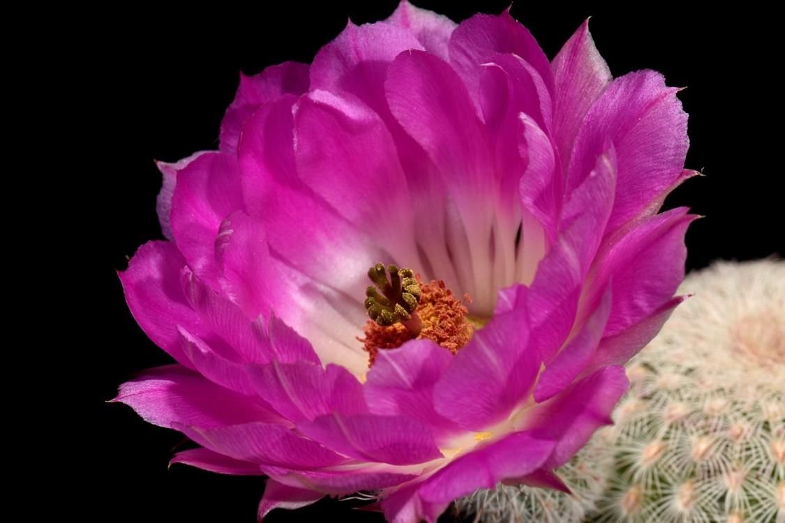 Echinocereus rigidissimus, Mexico, Sonora, Agua Salada