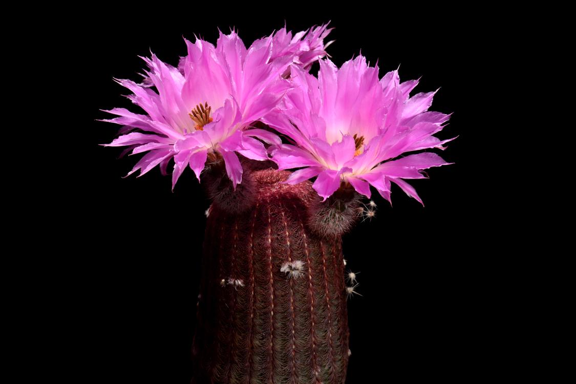 Echinocereus rigidissimus subsp. rubispinus, LAU0088