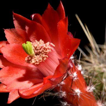 Echinocereus spec., Mexico, PG302