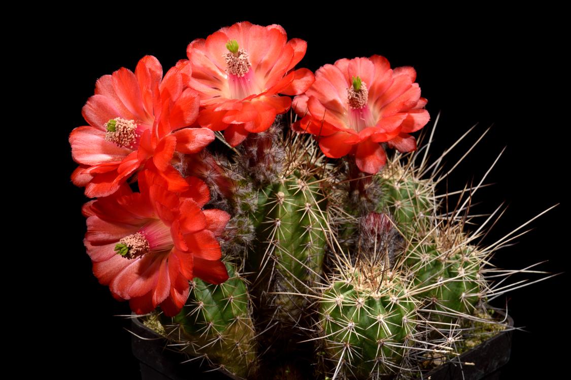 Echinocereus topiensis, Mexico, Durango, Topia