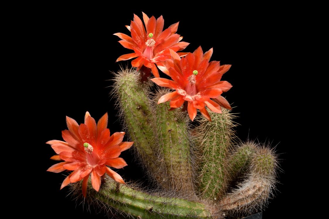 Echinocereus koehresianus, Mexico, Sinaloa, Durango - Mazatlan
