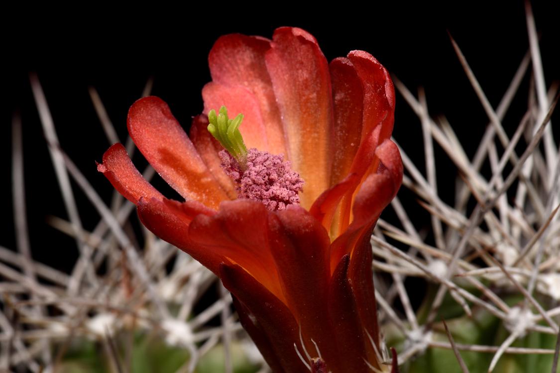 Echinocereus mojavensis, USA, Utah, Capitol Reef