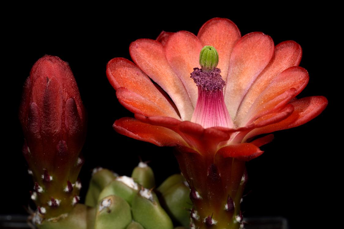 Echinocereus mojavensis fa. inermis, USA, Utah
