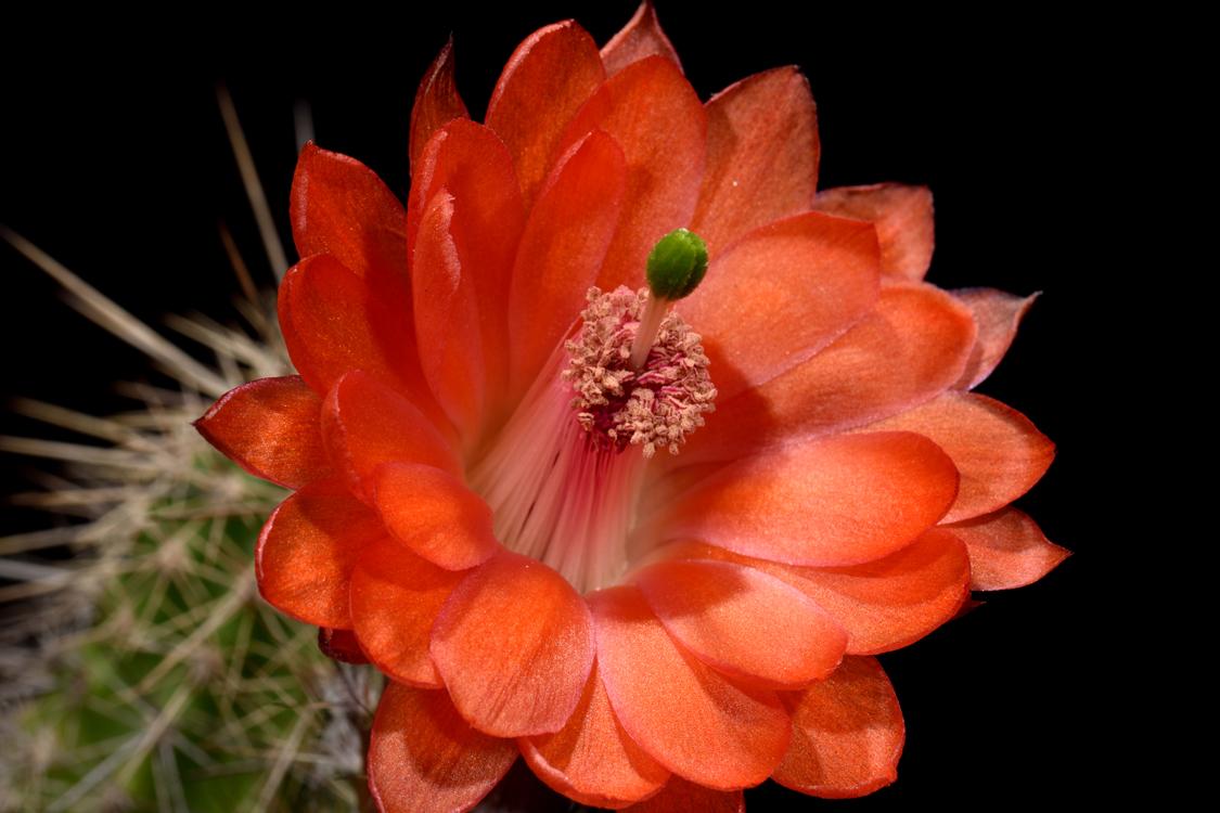 Echinocereus ortegae, Mexico, Durango, Canelas - Topia