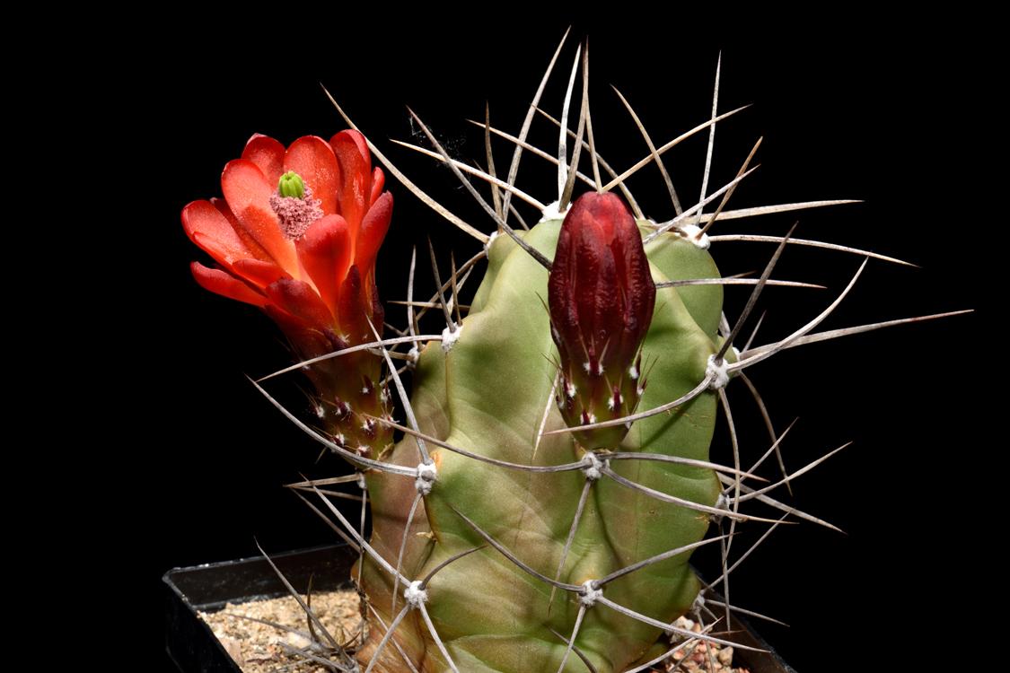 Echinocereus triglochidiatus, USA, New Mexico, San Ysidro, HK1294