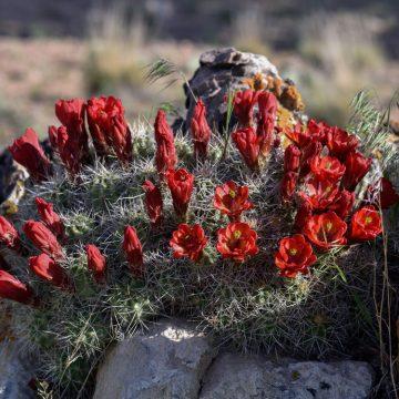 Echinocereus mojavensis, USA, Utah, Emery Co.