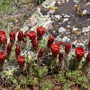 Echinocereus mojavensis, USA, Colorado, Mesa Co.