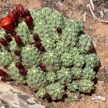 Echinocereus mojavensis fa. inermis, USA, Colorado, Montrose Co.