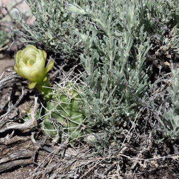Echinocereus mojavensis, USA, Utah