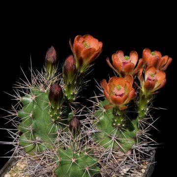 Echinocereus coccineus subsp. gurneyi, USA, Texas, Marathon, BW105 (Video)