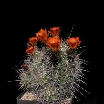 Echinocereus coccineus subsp. rosei, Mexico, Chihuahua, Alamos (Video)
