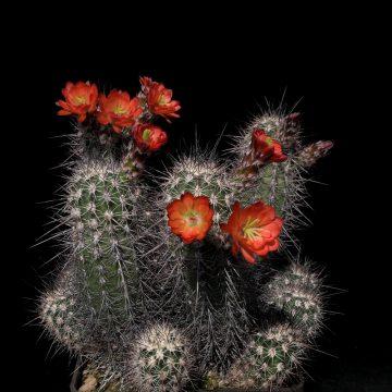 Echinocereus pacificus, Mexico, Baja California (Video)