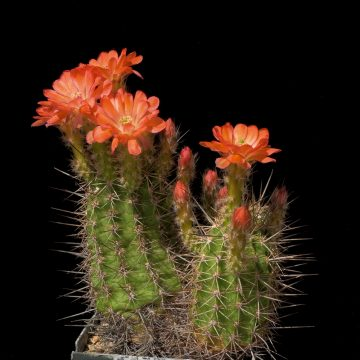 Echinocereus polyacanthus, Mexico, Durango, Jose Ma. Morelos (Video)