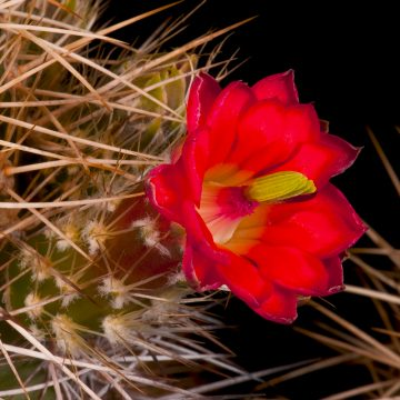 Zeitraffer Echinocereus yavapaiensis, USA, Arizona, Yavapai County (Video)