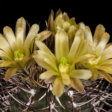 Zeitraffer Echinocereus davisii, USA, Texas, Brewster County (Video)