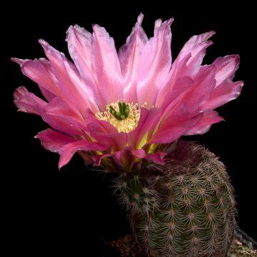 Echinocereus Online Shop: MAO Katalognummern - Echinocereus pectinatus und subspecies (Video)