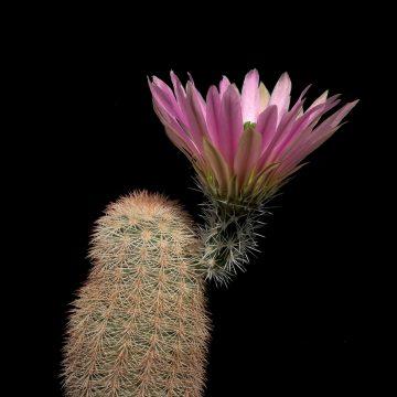 Echinocereus dasyacanthus, USA, Texas, Pecos County (Video)