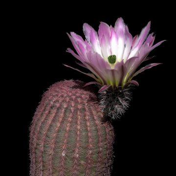 Echinocereus pectinatus, Mexico, Nuevo Leon, San Roberto (Video)