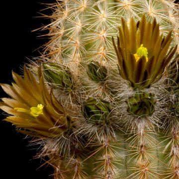 Zeitraffer Echinocereus neocapillus, USA, Texas (Video)