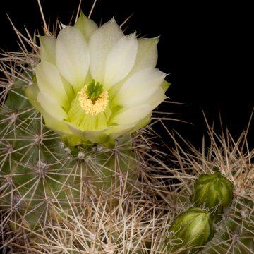 Zeitraffer Echinocereus xroetteri, USA, New Mexico, Otero County (Video)