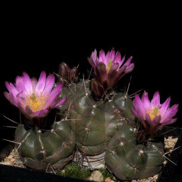 Echinocereus knippelianus subsp. reyesii, Mexico, Nuevo Leon (Video)