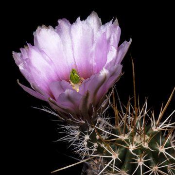 Zeitraffer Echinocereus engelmannii subsp. fasciculatus fa. abbae, Mexico, Sonora (Video)