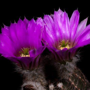 Zeitraffer Echinocereus pamanesiorum subsp. bonatzii, Mexico, Durango, La China (Video)