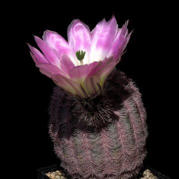 Echinocereus pectinatus, Mexico, Coahuila, La India (Video)