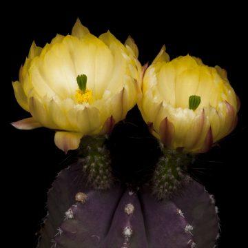 Zeitraffer Echinocereus subinermis, Mexcio (Video)